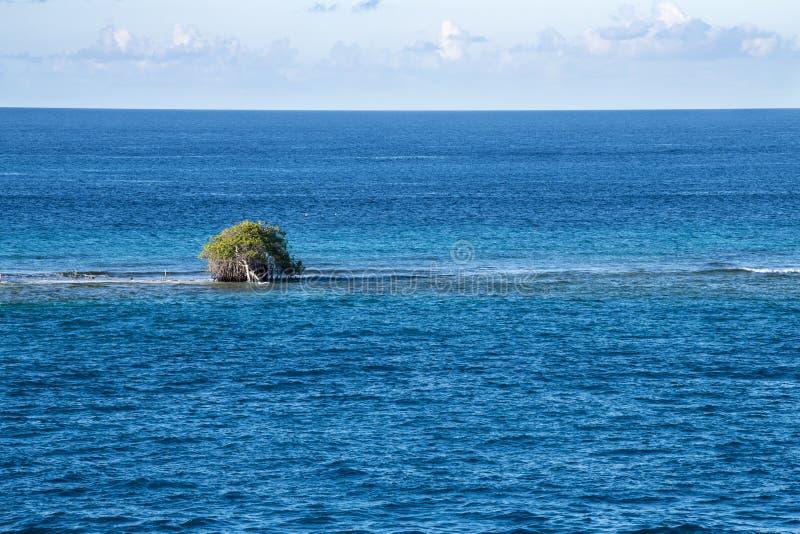Divi divi tree - Libidibia coriaria - flooded on sandbar, Aruba. Dvi-divi tree fallen down on flooded sandbank, Aruba, island in the Caribbean Sea, Lesser royalty free stock image