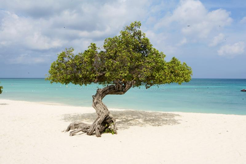 Divi tres en la playa de Aruba imágenes de archivo libres de regalías