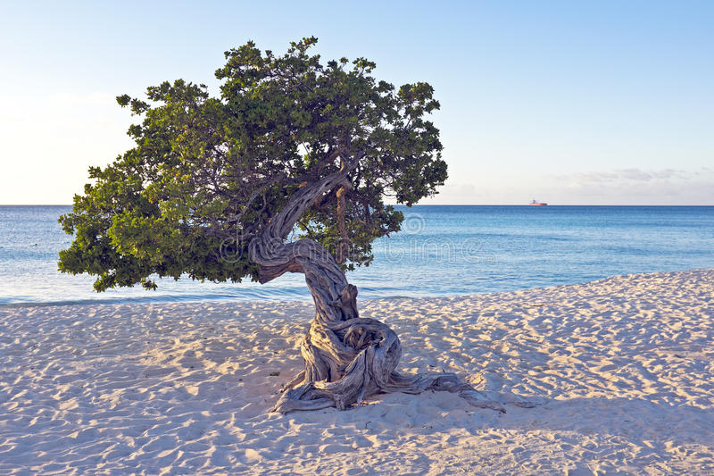 Download Dividivi tree on Aruba stock image. Image of wave, trees - 37685587