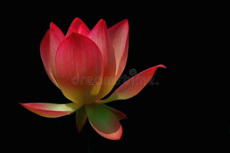 Divine Lotus. Flower with dark background