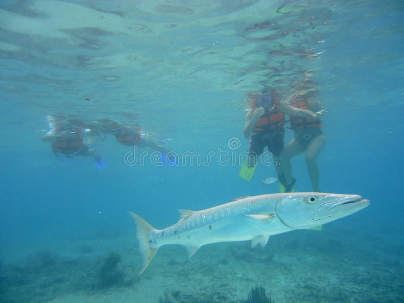 Download Diving With Barracudas Stock Photos - Image: 23791023