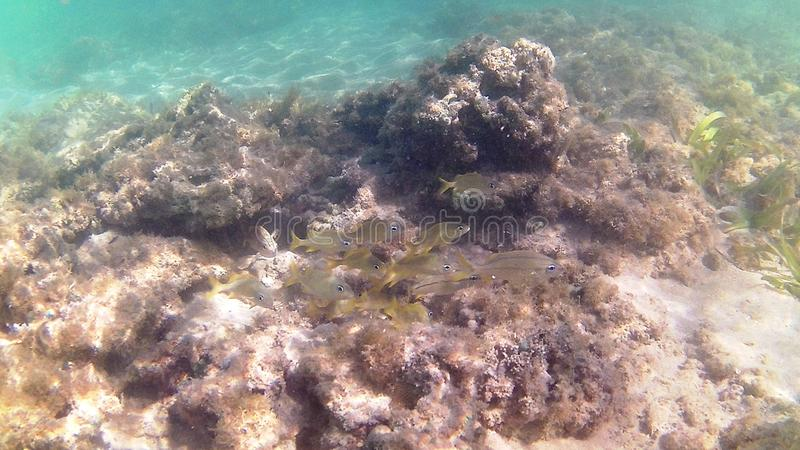 Diving in the Caribbean Sea. Tropical fish. Juvenile Yellow Gorette Fish. stock photos