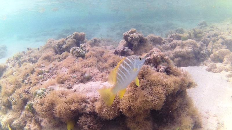 Diving in the Caribbean Sea. Tropical fish. Juvenile Yellow Pygmy Fish royalty free stock images