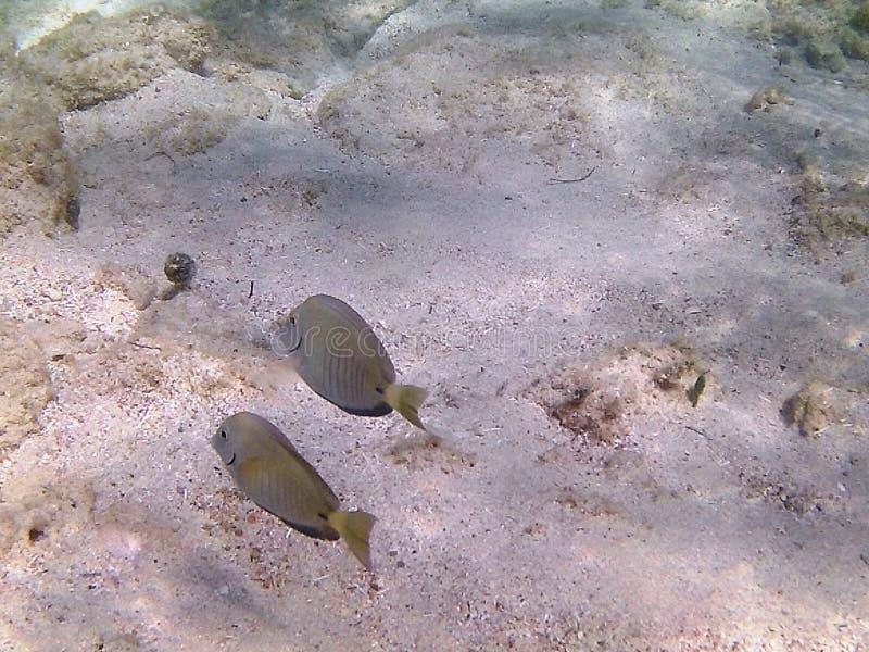 Diving in the Caribbean Sea. Tropical fish. Juvenile yellow surgeonfish. stock image