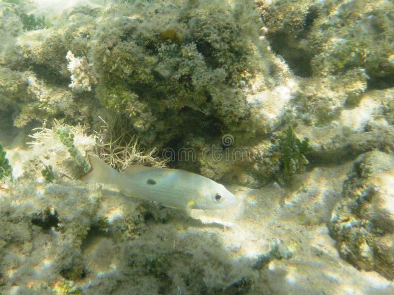 Diving in the Caribbean Sea. Tropical fish. Wayack fish royalty free stock photos