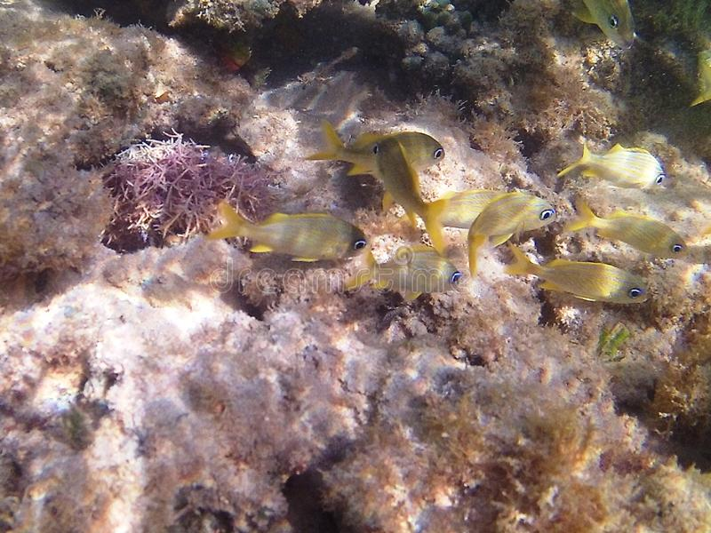 Diving in the Caribbean Sea. Tropical fish. yellow gorillas fish. royalty free stock images