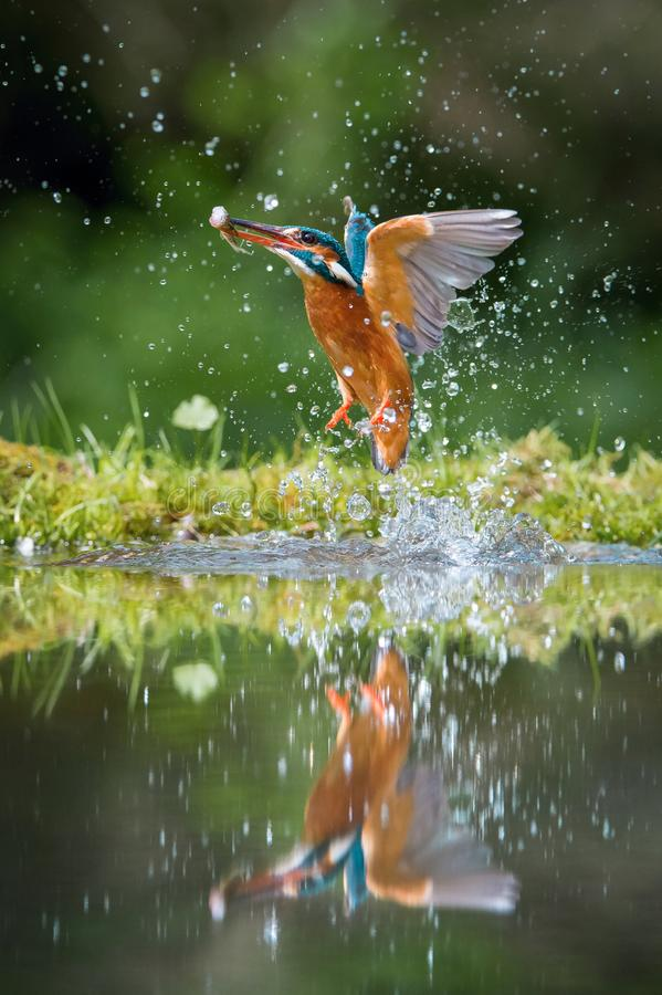 The diving Common Kingfisher, alcedo atthis is flying with his prey in green background. The kingfisher just caught his prey. stock photos