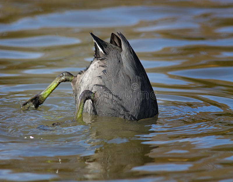 Download Diving Coot stock photo. Image of outdoor, cute, feathers - 38212800