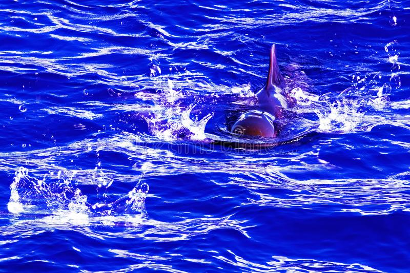 Diving dolphin in the atlantic ocean on a purple background stock images