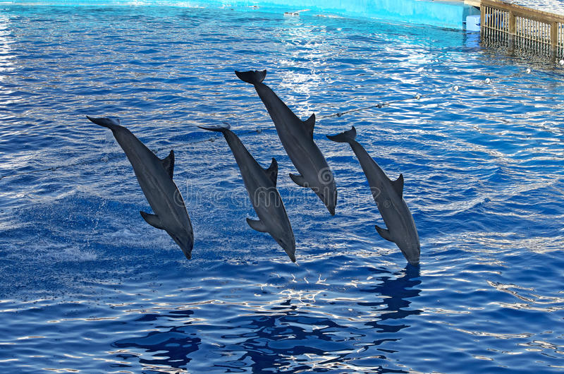 Diving dolphins. Dolphins in Aquarium of Oceanographic City of Arts and Sciences in Valencia, Spain royalty free stock photo