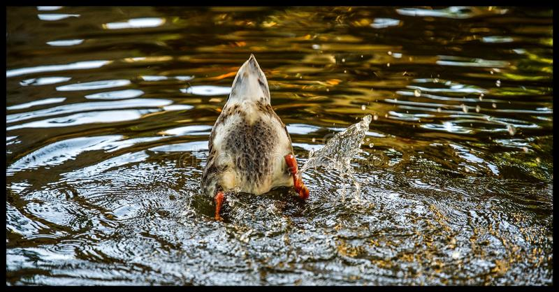 Diving duck royalty free stock photos