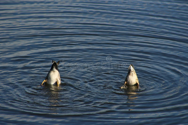 Diving ducks stock photography
