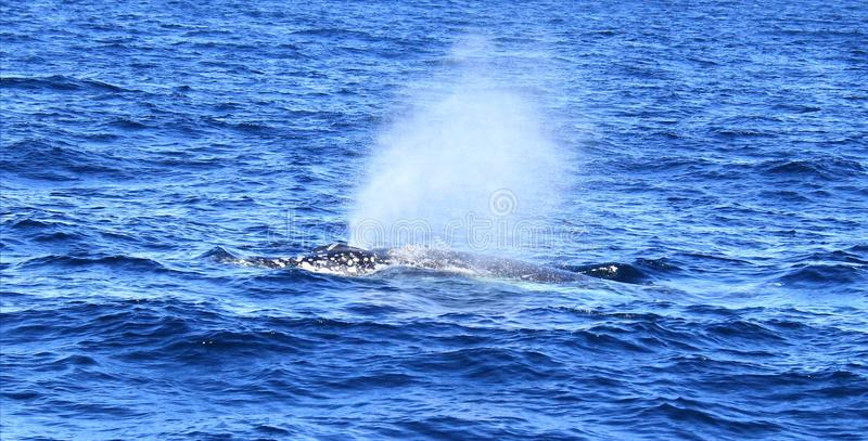 Diving fin of Hump Back Whale. Humpback whale diving in blue waters of Gold Coast, Queensland, Australia stock image