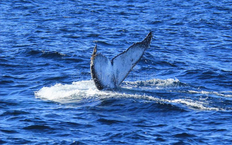 Diving fin of Hump Back Whale. Humpback whale diving in blue waters of Gold Coast, Queensland, Australia royalty free stock photo