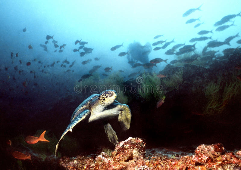 Diving in the Galapagos Islands. A Hawksbill turtle prepares to launch itself from the sandy coral bottom in the Galapagos Islands while a diver in the