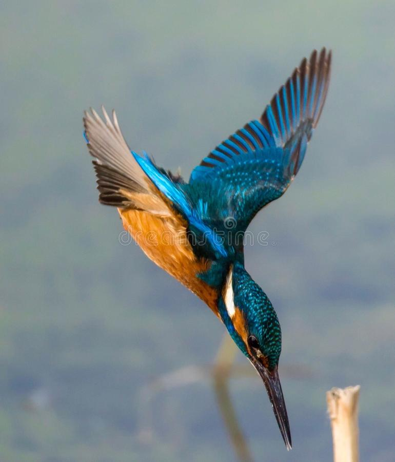 Diving kingfisher royalty free stock photography
