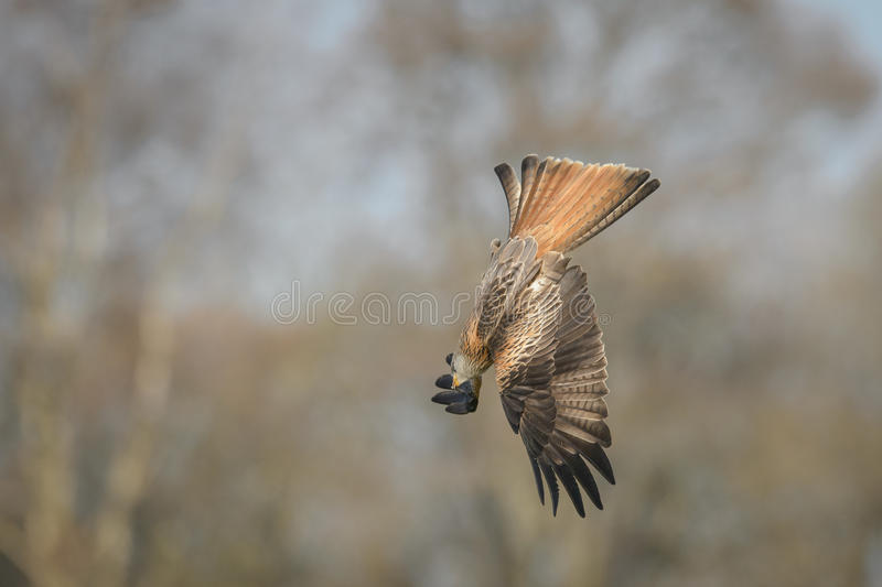 Download Diving Red Kite stock image. Image of free, avian, manoeuvrable - 38780313
