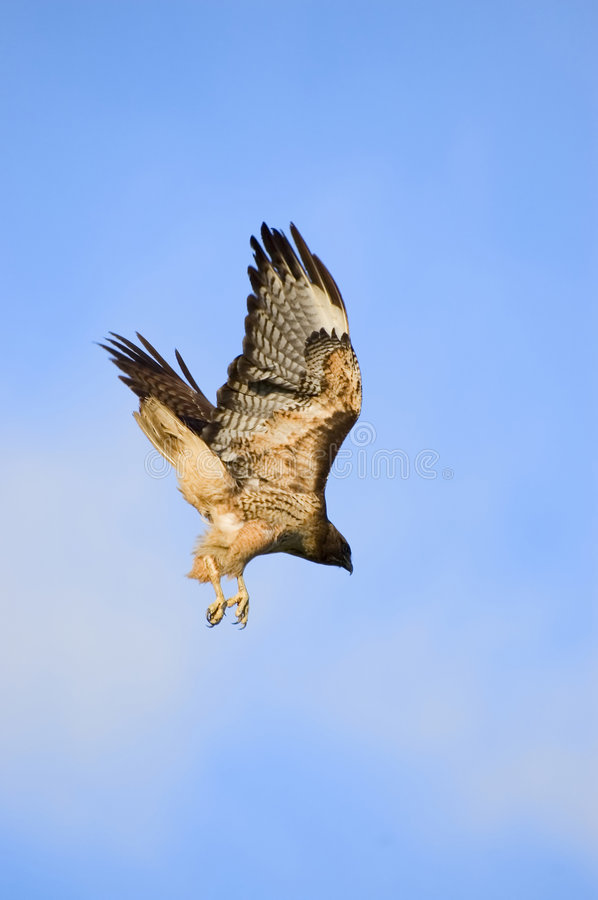 Diving red tailed hawk royalty free stock photo