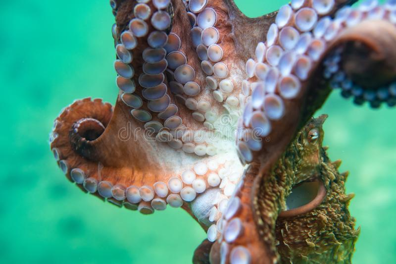 Diving and underwater photography, octopus under water in its natural habitat. stock images