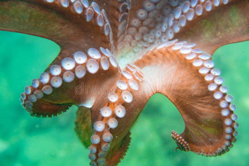 Diving and underwater photography, octopus under water in its natural habitat. royalty free stock image