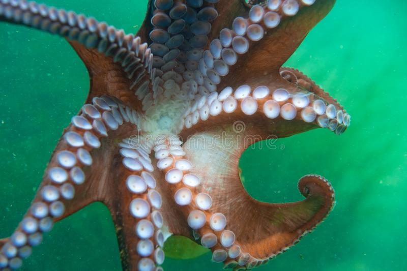 Diving and underwater photography, octopus under water in its natural habitat. stock photo