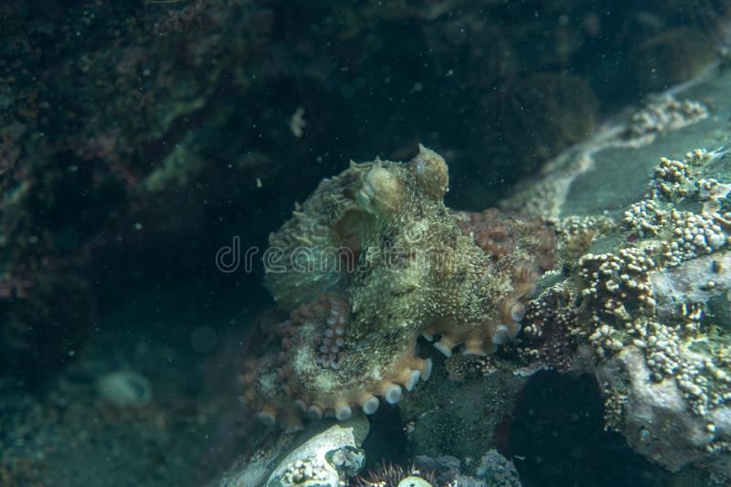 Diving and underwater photography, octopus under water in its natural habitat stock photography