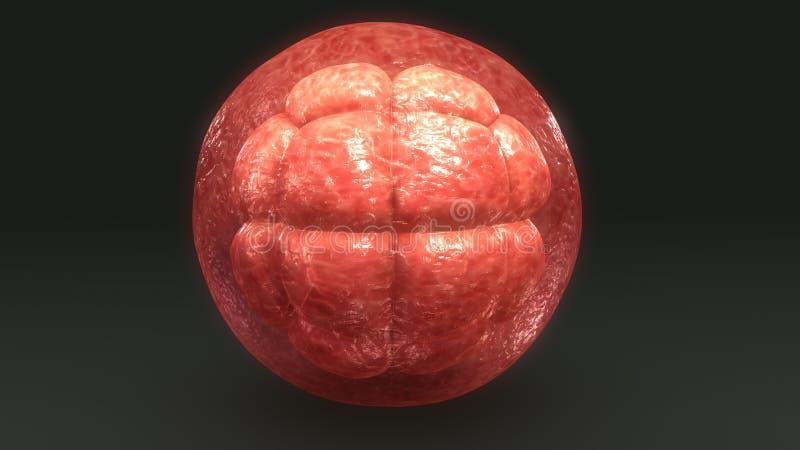 División celular del óvulo humano fotografía de archivo