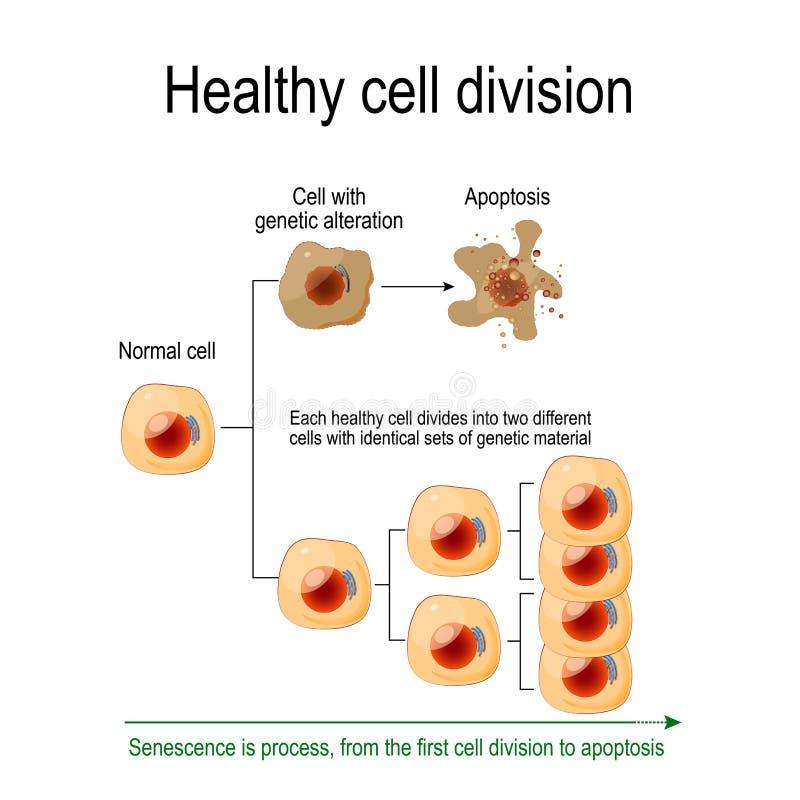 División celular sana ilustración del vector