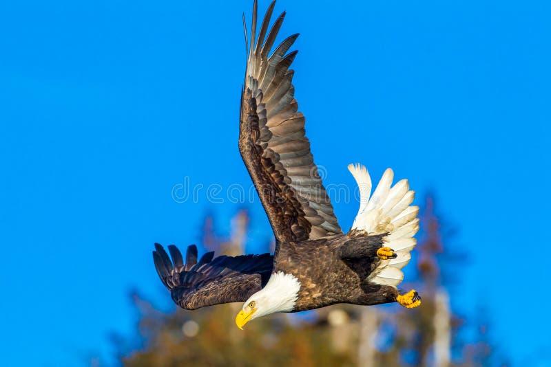 Divng Eagle stockbild