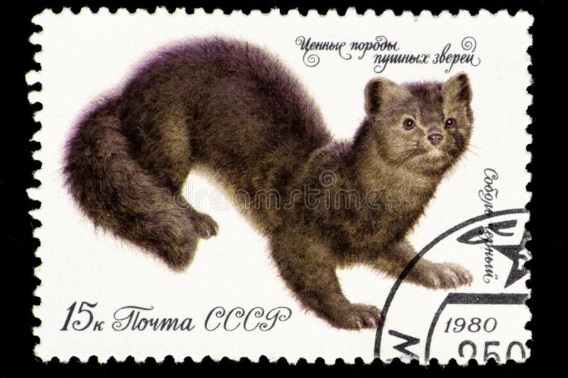 07.24.2019 Divnoe Stavropol Territory Russia - USSR postage stamp 1980. series - Valuable breeds of fur animals. Sable is black. vector illustration