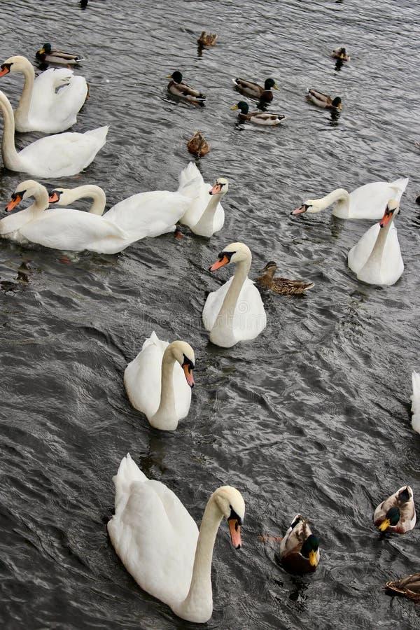 Dix cygnes et une mêlée des canards de canard nageant vers la banque pour le pain images libres de droits