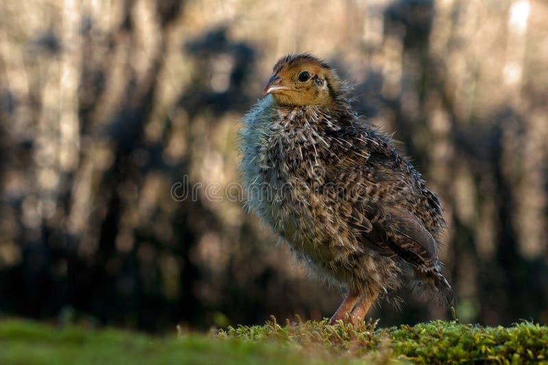 Dix jours cailles, cognassier du Japon de Coturnix photographié en nature photographie stock