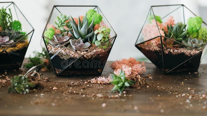 Diy florarium growing succulents moss glass vases. DIY florarium. Closeup of growing succulents and colorful moss in glass vases and scattered around on wooden royalty free stock image
