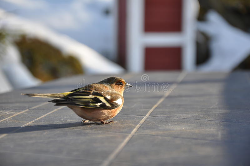 Download Dizzy Chaffinch stock photo. Image of plumage, profile - 16410818