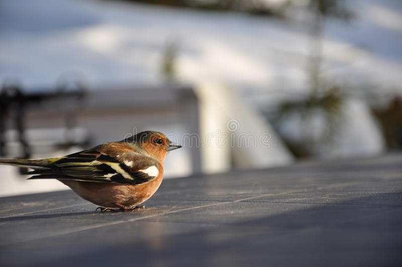 Download Dizzy Chaffinch stock photo. Image of spring, detail - 16410820