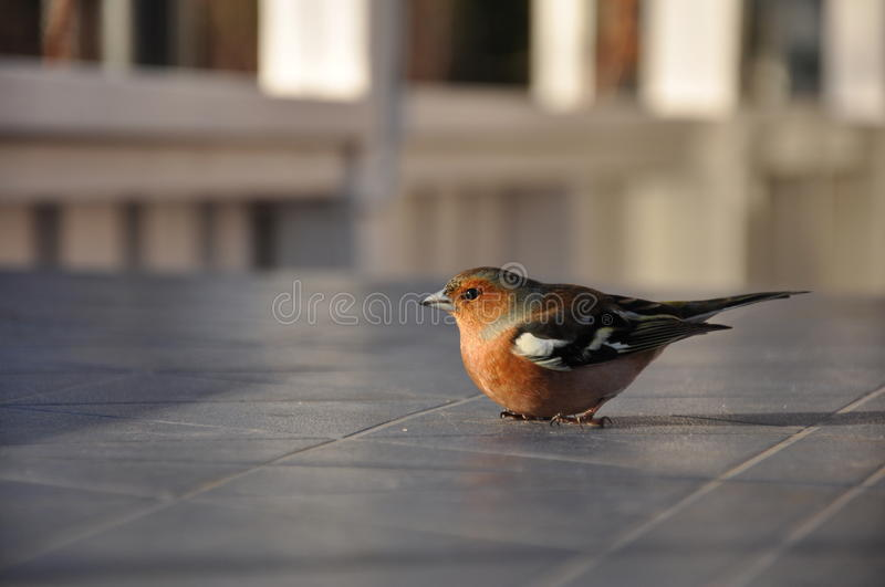 Download Dizzy Chaffinch stock image. Image of april, dizzy, coelebs - 16410823