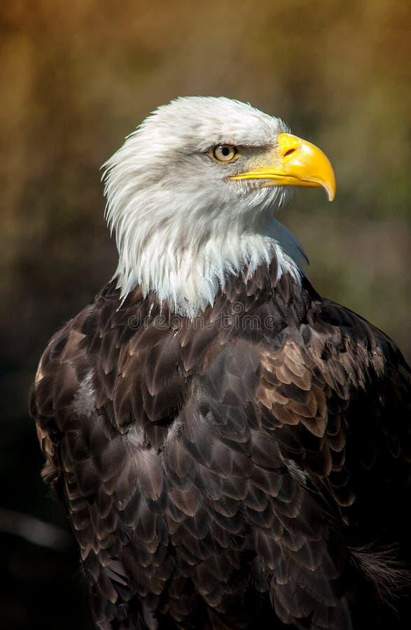 Djärva Eagle med mörk bakgrund arkivfoto