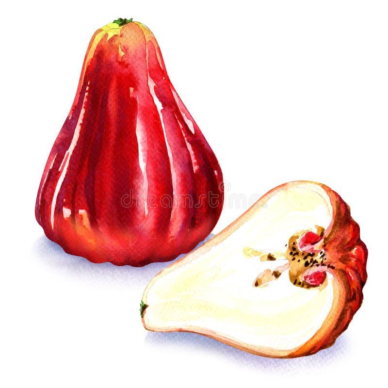 Djamboevruchten of chomphu op witte achtergrond worden geïsoleerd die stock illustratie