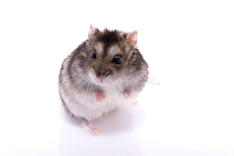 Djungarian hamster som isoleras på en vit bakgrund royaltyfri fotografi