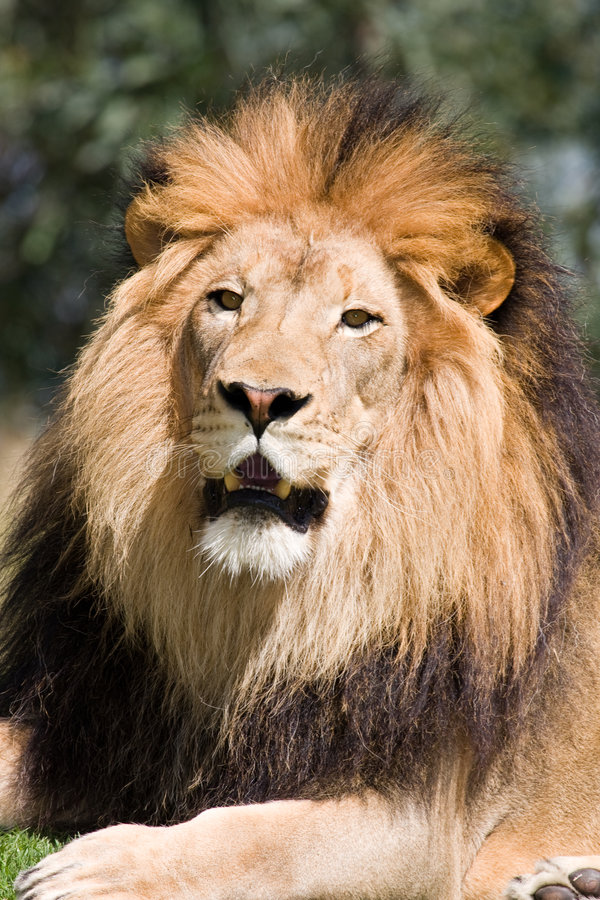 djungelkonung royaltyfri bild