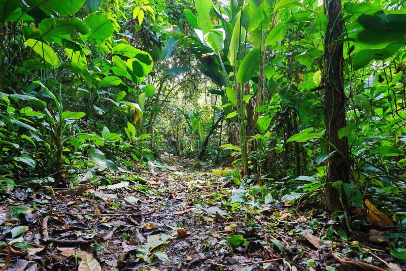 Djungelvandringsled till och med frodig tropisk vegetation arkivfoto