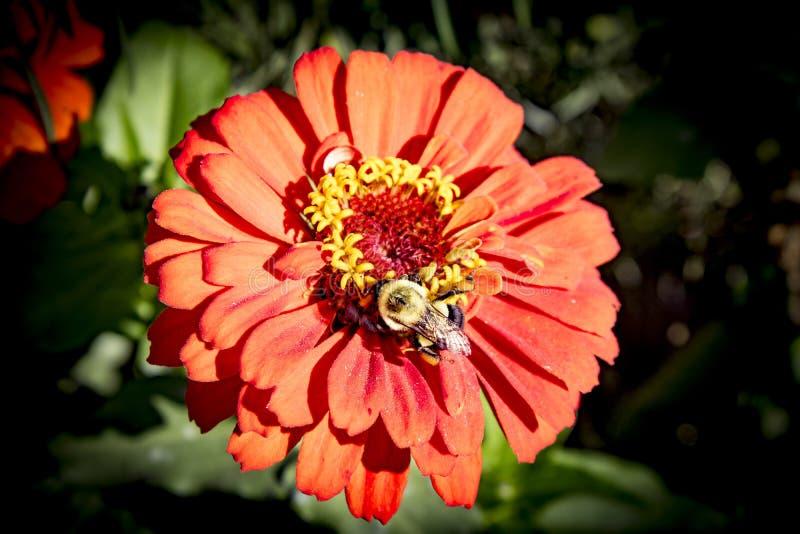 Djup apelsin den gula kronbladblomman i solsken med stapplar biet som samlar necter royaltyfri fotografi