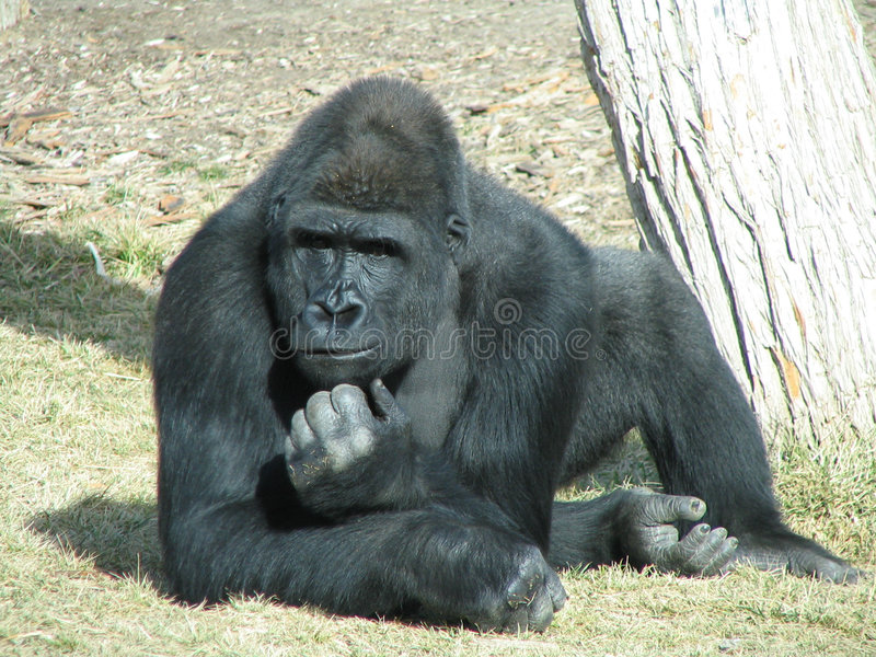 djup gorillatanke arkivbilder