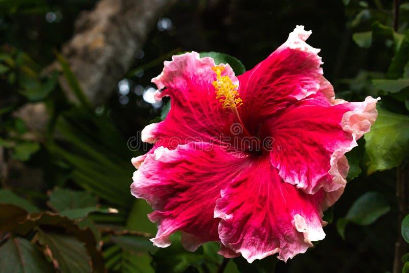 Djup närbild av den härliga hibiskusen - rosa vit kantad oavkortad blom för blommablomning i det Hawaii paradiset, blom- trädgård arkivfoto