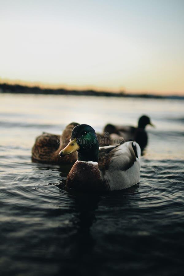 Djup på fältfotografi av Mallard Duck på vattenförekomsten royaltyfri foto