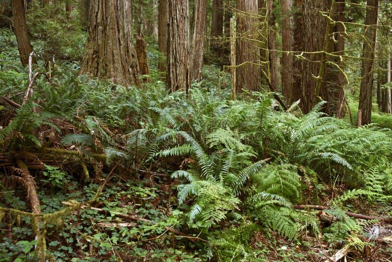 Djup skog med Ferns royaltyfria bilder