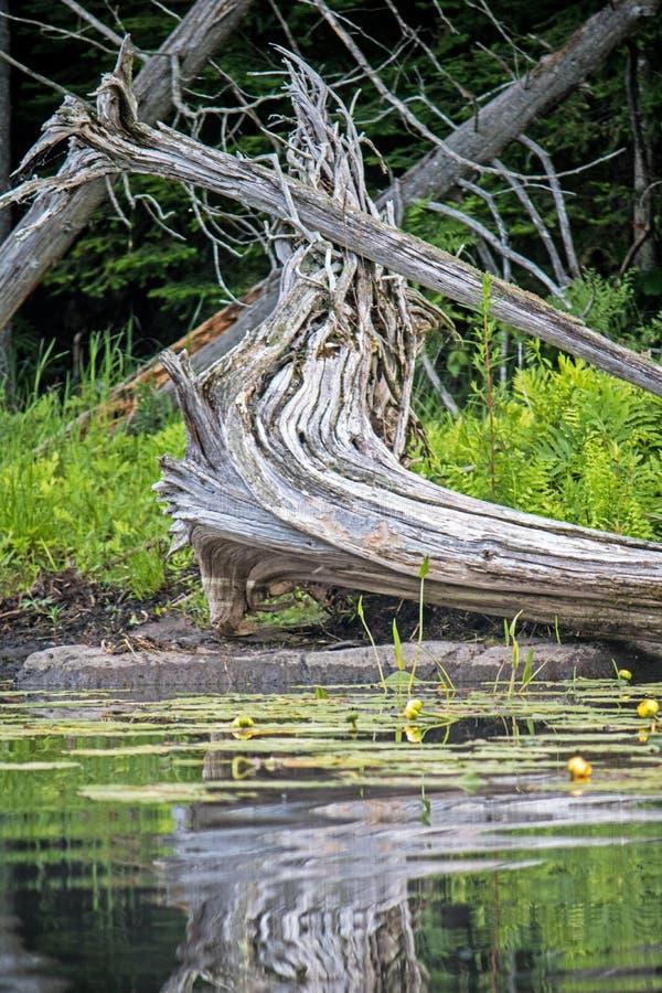 Djup syn på ett stupat träd längs Nogies liten vik i Ontario, Kanada arkivbild
