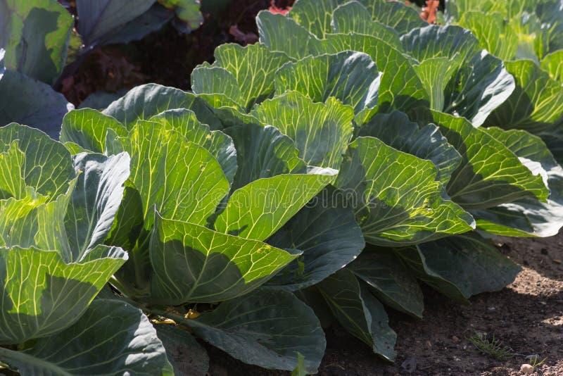 Djup syn på grönsakväxter på en stugaträdgård arkivfoto