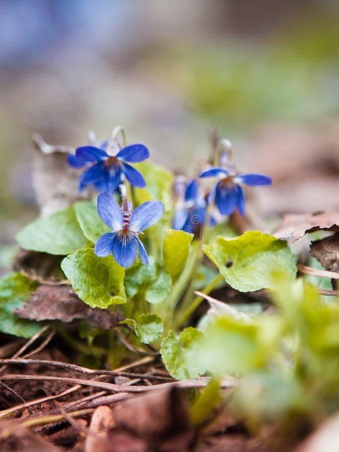 Djupblå violetsaltfiolodorata i ett soligt vårträ royaltyfria foton
