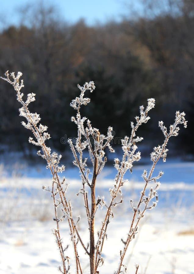 Djupfryst dimma på en vinterväxt arkivfoton